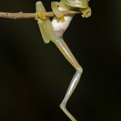 Стеклянная лягушка (лат. Centrolenidae). Costa Rica.