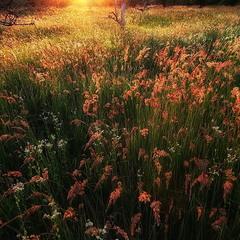 Ковыль-трава.