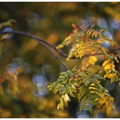...Sorbus...