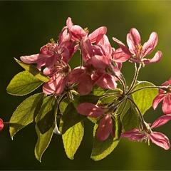 Райское цветение райского яблочка