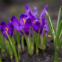 Весна,пора крокусів цвітіння.