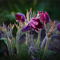 Сонні квіти.