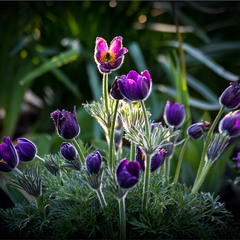 Квіти в росі.