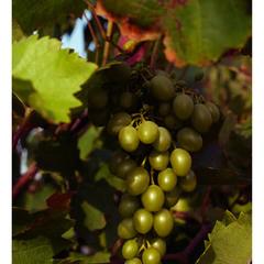 Янтарная гроздь