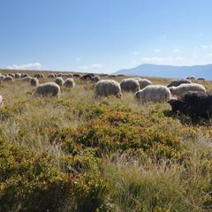 Вівці ж мої віці, вівці та отари, хто ж вас буде пасти, як мене не стане...