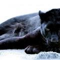 Пантера :)